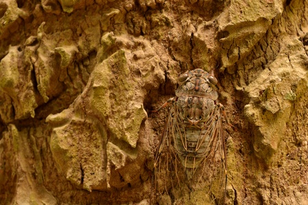 cicada is staying on the tree bark  in the forest photo
