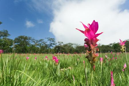 seasonal: Seasonal flowers in the meadow, Chaiyaphum, Thailand