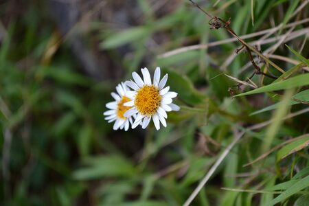 Wild aster among the grass Stock Photo