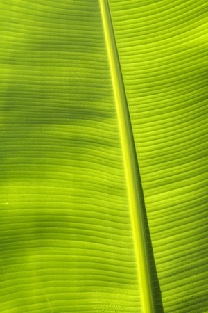 Texture of a leaf of a banana palm tree photo