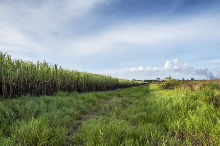 Landscape of sugar cane plantation, Brazil photo