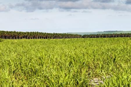 Landscape of large plantation of sugarcane and coconut, Brazil photo