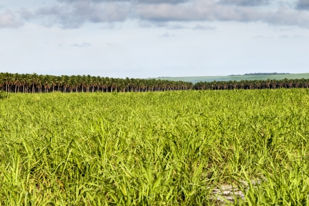 sugar cane farm: Landscape of large plantation of sugarcane and coconut, Brazil