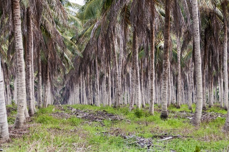 Landscape of large plantation of coconut, Brazil photo