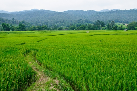 field of thai: Field rice and farmer hut in countryside of Thailand