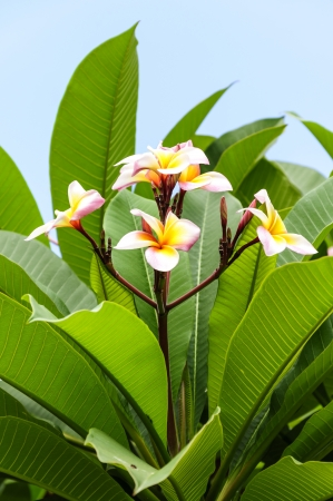 Plumeria flowers with leaves in background photo