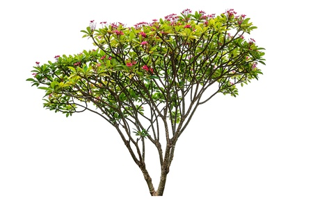 big tree: Plumeria flowers tree isolated on white background