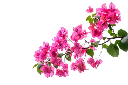 Bougainvillea  isolated on white background  photo