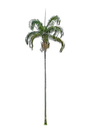 bark of palm tree: Palm tree isolated on white background  Stock Photo