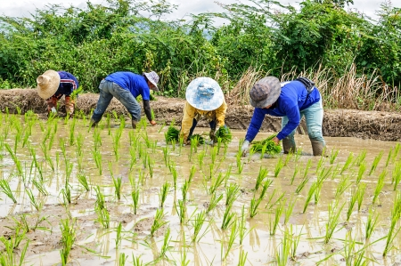 field of thai: Rice seedling transplanting in northern part of Thailand Stock Photo
