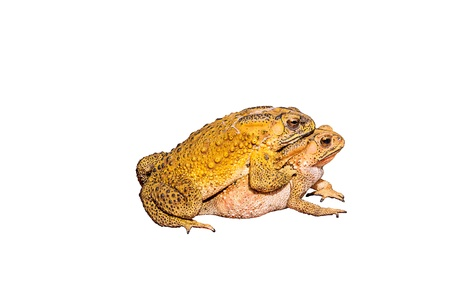 Two toads during the breeding isolated on white background photo
