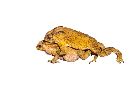 big slick: Two toads during the breeding isolated on white background