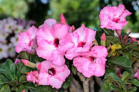 adenium obesum: Adenium obesum flowers in garden