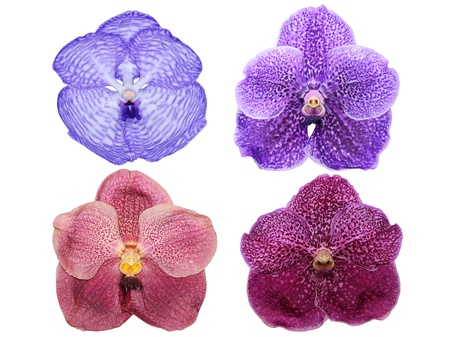 Vanda orchid flowers isolated on white background  photo