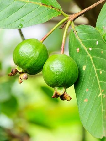 nutriment: Guava fruit on the tree  Psidium guajava