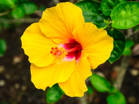 Yellow hibiscus flowers with water drop on tree