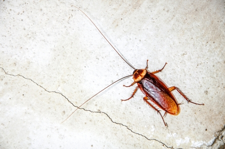 dead animal: Close up cockroach on the wall Stock Photo
