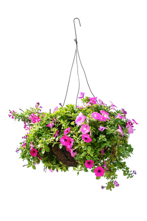 Hanging basket with a petunia flower isolated on a white background