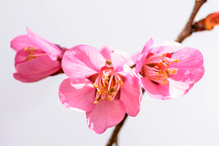 Close up of  Wild Himalayan Cherry flower photo