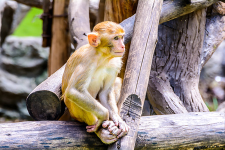 Young Rhesus macaque  Macaca mulatta  sitting on timber  photo