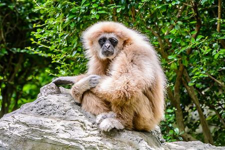 biped: White Cheeked Gibbon or Lar Gibbon sitting on the rocks