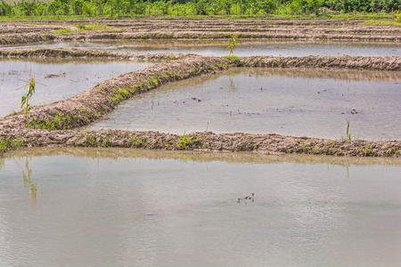 harrowing: Farmers make use of natural water  to fill their rice field before plowing and planting rice. Stock Photo