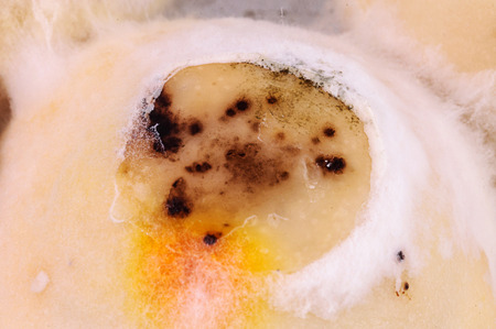 inedible: Mochi dessert covered with fungus, old inedible food.