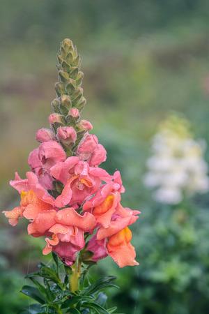antirrhinum majus: Antirrhinum majus dragon flower in bloom in garden. Stock Photo