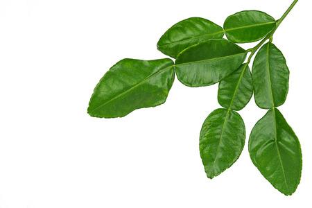 lime: Leaf of bergamot (kaffir lime) isolated on white background. Stock Photo
