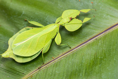 Phyllium-レヴェンシュタイン腫瘍を残す葉昆虫の歩行、チェンマイ、タイから熱帯林の木の上の虫。