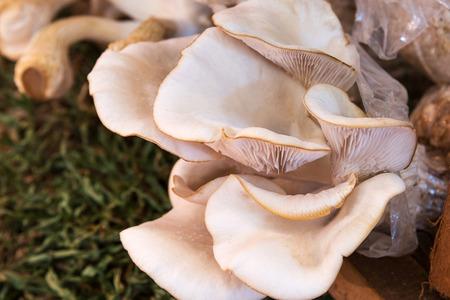 Closeup fresh Oyster Mushroom or Indian Oyster in a mushroom cube at mushroom farm.