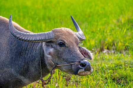 herbivore natural: Close Up head of Water Buffalo in pastures. Stock Photo