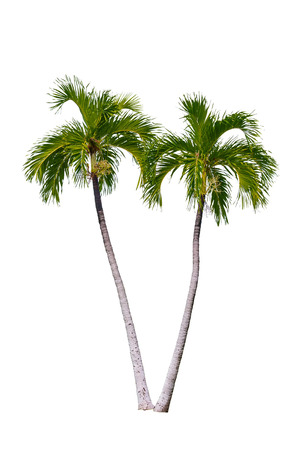 single tree: Palm tree isolated on white background.