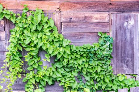 creeper: Green creeper plants on old wooden wall. Stock Photo
