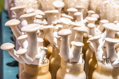 Closeup fresh eryngii mushrooms growing at mushroom farm. 写真素材