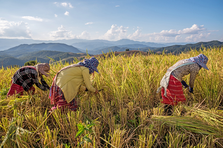 reaping: Farmers harvest rice by the traditional approach, reaping the rice together by a sickle. Stock Photo