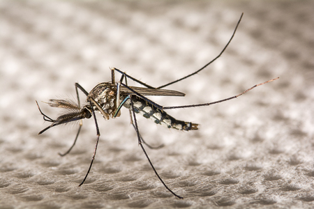 Closeup Aedes aegypti or common house mosquito.
