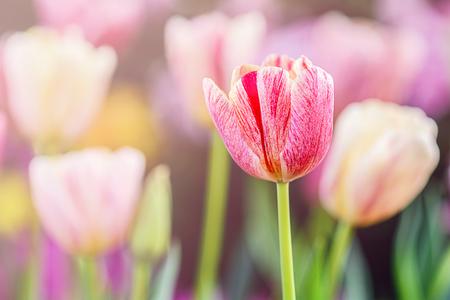 tulipan: kolorowe tulipany w ogrodzie, wybrane ostrości.