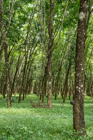dankness: Rubber tree plantation with rows of cultivated trees, South of Thailand. Stock Photo