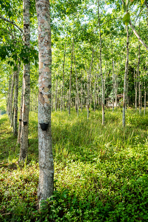 Rubber tree plantation with rows of cultivated trees, South of Thailand. Stock Photo