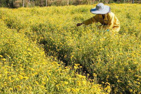 daises: Farmer harvesting Chrysanthemum flower in field for producing tea, so it is an economic crop.