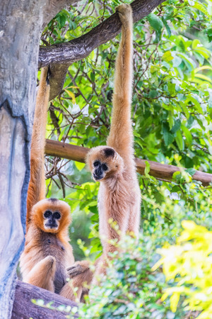 White Cheeked Gibbon or Lar Gibbon sitting on the branch of tree.