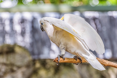 Yellow Crested Cockatoo perch on a branch.