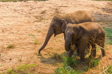 Asian Elephant (Elephas maximus) It is a Big mammal living on the ground. Stock Photo