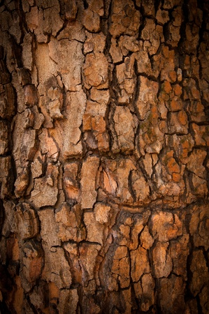 Bark of Pine Tree. Texture Stock Photo