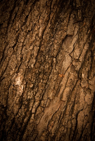 Bark of Oak Tree. Texture