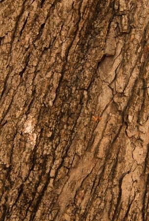chobot: Kůra z dubu. Textura