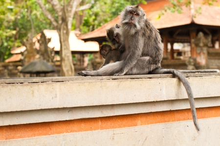 Long-tailed macaques (Macaca fascicularis) in Sacred Monkey Forest, Ubud, Indonesia photo