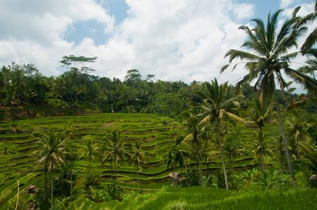 Green rice terraces near Ubud, Bali, Indonesia photo