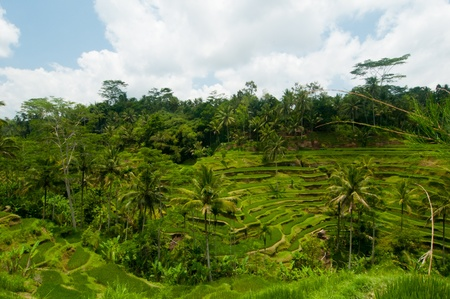 Green rice terraces near Ubud, Bali, Indonesia Stock Photo